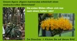 Blütenstandsentwicklung der Agave marmorata 210505