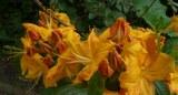 190512_rhododendron_abg.jpg