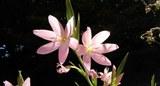 Hesperantha coccinea.jpg