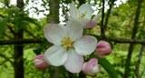 obstbaumblüte.jpg
