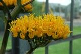 04.05.2021 - Blütenstandsentwicklung der Agave marmorata - die ersten Blüten öffnen sich.jpg
