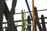 21.01.2021 - Blütenstandsentwicklung der Agave marmorata - Detail.jpg
