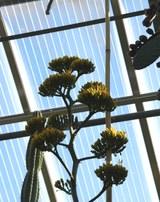 28.04.2021 - Blütenstandsentwicklung der Agave marmorata - die ersten Blüten öffnen sich.jpg