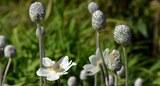anemone_multifida.jpg
