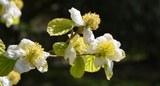 Parrotiopsis acqquemontiana
